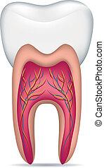hälsosam, vit tand