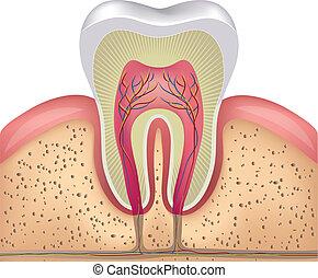 hälsosam, vit tand, tvärsnitt