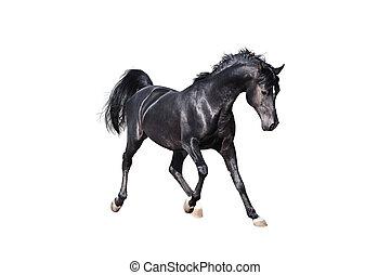 häst, arab, svart, isolerat, vit