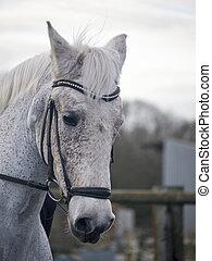 häst, dressyr, existens, grå, träns, ridit, tygel