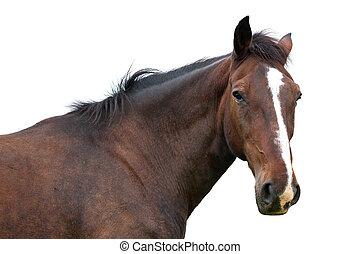 häst, huvud, isolerat