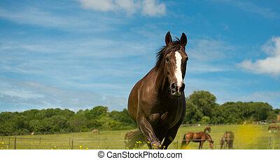 häst, in, hans, paddock.