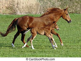 häst, med, föl