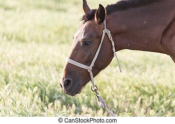häst, på, beta