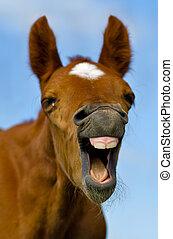 häst, skratta
