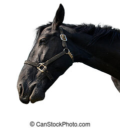 häst, svart, isolerat, white.