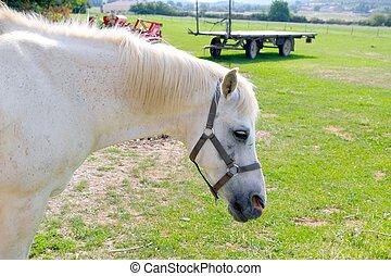 häst, utomhus, rpofile, äng, stående, vit