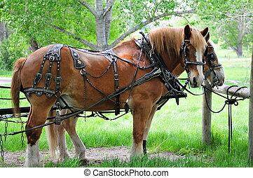 hästar, alla, harnessed, uppe