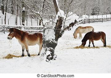 hästar, in, vinter