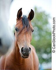 hästar, nära, Arab, Uppe