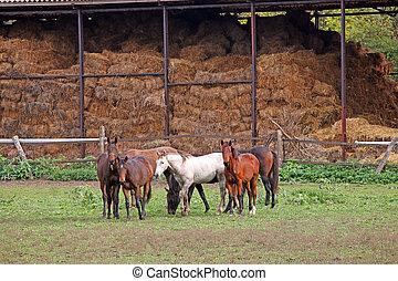 hästar, på, lantgård