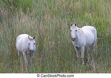 hästar, vit, colorado