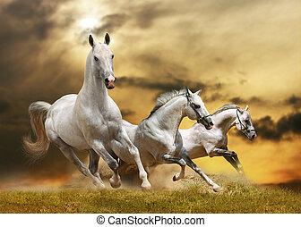 hästar, vit