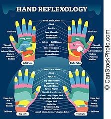 hånd, reflexology, massage terapi, medicinsk, vektor,...