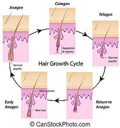hår, cykel, tillväxt, eps10