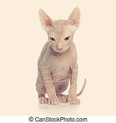 hårlös, kattunge, don, sphynx