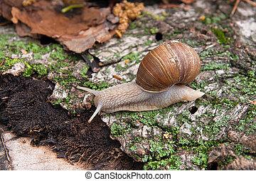 hélice, pomatia, común, nombres, el, caracol de borgoña, romano, caracol, comestible, caracol, gatear, en, el, tronco, árbol, con, musgo, y, fungus.