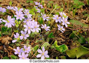 hépatique, (liverleaf), fleurs, nobilis