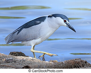 héron nuit, black-crowned, nycticorax), (nycticorax