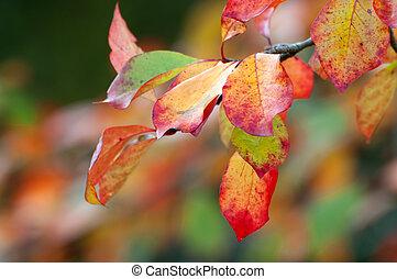 hêtre, feuilles automne