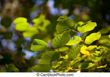 hêtre, feuilles vertes, arbre, frais