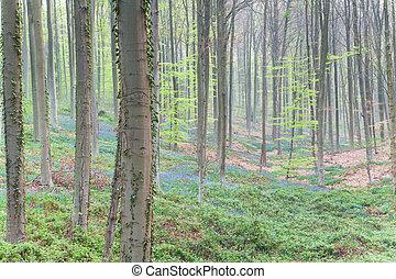 hêtre, fleurs ressort, forêt