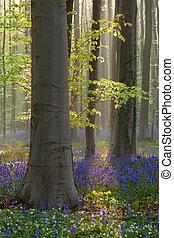 hêtre, fleurs ressort, forêt, jacinthe des bois