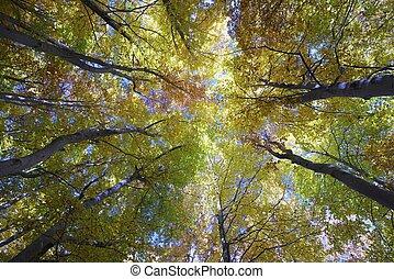 hêtre, forêt