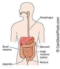hígado, gastrointestinal, zonas