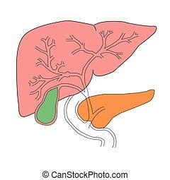 hígado, y, páncreas