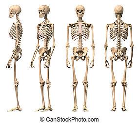 hím, emberi csontváz, 4 nézet, elülső, hát, lejtő, és,...