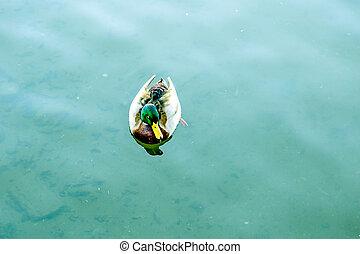 hím, mallard kacsa, úszkál, alatt, tó