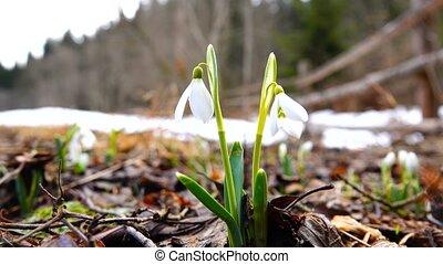 hóvirág, alatt, eredet, noha, madarak, éneklés