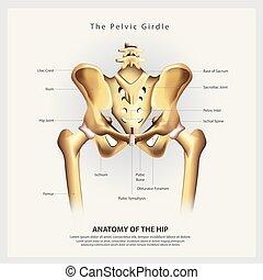 höft, bottnande, illustration, anatomi, vektor, mänsklig, ...