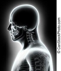 höher, skelett, -, system, human., teil, röntgenaufnahme