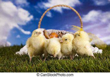 húsvét, fiatal, csibe