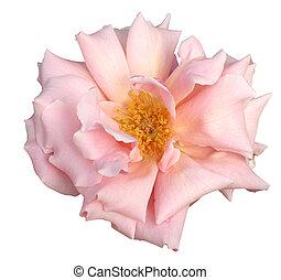 hübsch, in, rosa