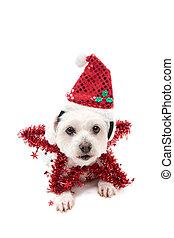 hübsch, weihnachten, stern, hund