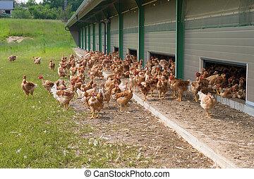 hühner, freier bereich