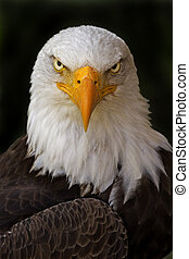H. leucocepha, Bald eagle - Portrait of a Haliaeetus...