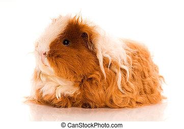 haar, guinea, lang, varken