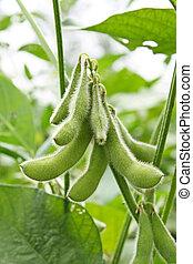 haba de soja, planta