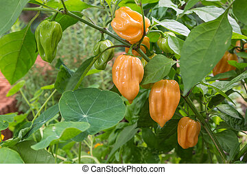 habanero chili pepper plant - chili pepper plant with...