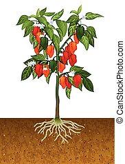 habanero poivre, plante