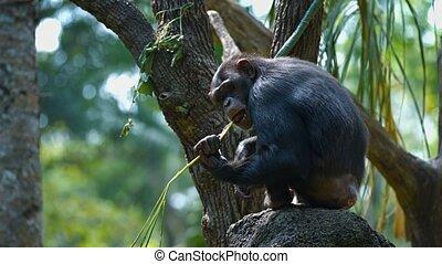 habitat, adulte, chimpanzé, leur