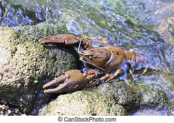 habitat, piedra, cangrejo río, noble, natural