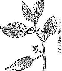 Hackberry or Prunus padus, vintage engraving - Hackberry or...