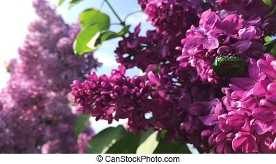 ?hafer sitting on a lilac flower on a sunny day