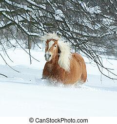 haflinger, con, lungo, criniera, correndo, in, il, neve