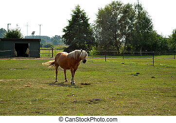 haflinger horse grazing on the meadow